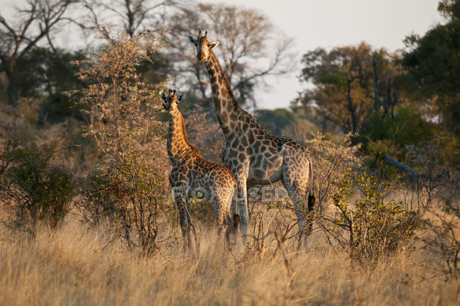 Deux girafes debout près des arbres dans le delta de l'Okavango, Botswana — Photo de stock