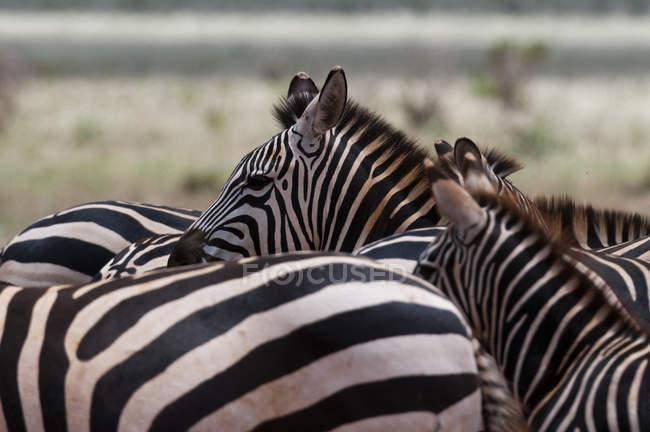 Subventions aux zèbres dans le parc national de Tsavo East, Kenya — Photo de stock
