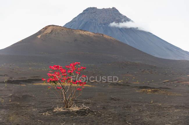 Folhas vermelhas crescendo na árvore pelo vulcão, Fogo, Cabo Verde, África — Fotografia de Stock