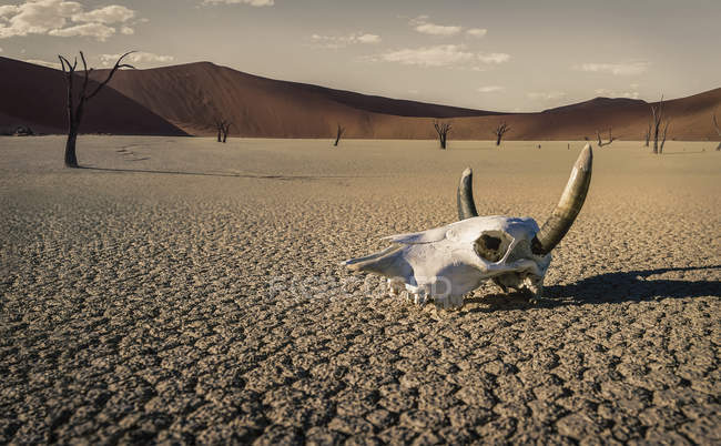 Cattle skull in desert, Windhoek, Namibia, Africa — Stock Photo