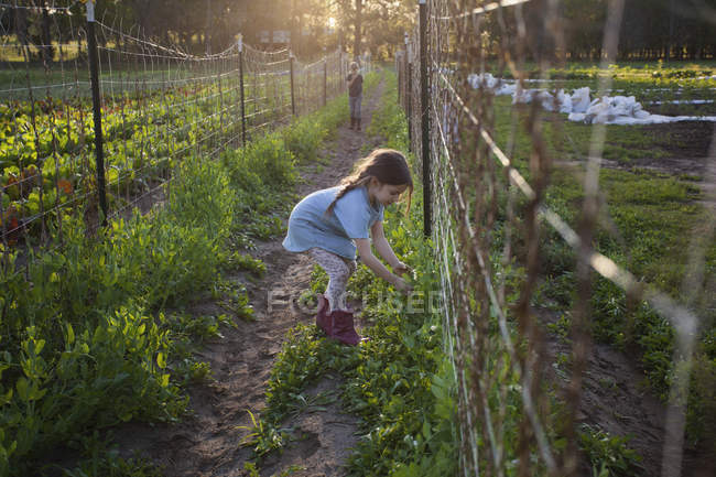 Young girl on farm, picking sugar snap peas — Stock Photo