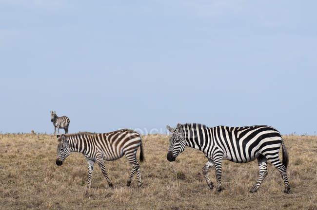Зебр випасу а їли суха трава, Масаї Мара, Кенія — стокове фото