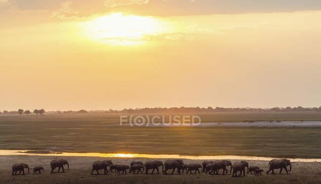 Vue latérale des éléphants marchant près de la rivière pendant le magnifique coucher de soleil dans le delta de l'Okavango, Botswana — Photo de stock