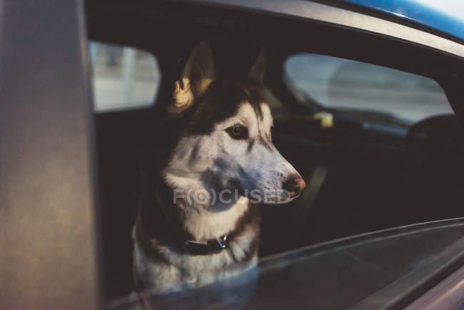 Закрыть собака в машине глядя — стоковое фото