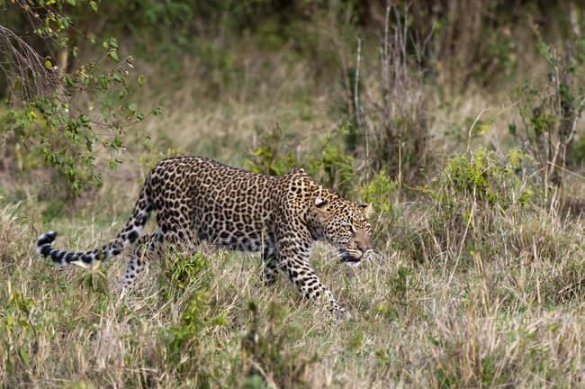 Вид сбоку леопарда, ходить по траве, Масаи Мара, Кения — стоковое фото