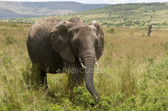 One African Elephant walking on grass in Masai Mara National Reserve, Kenya — Stock Photo