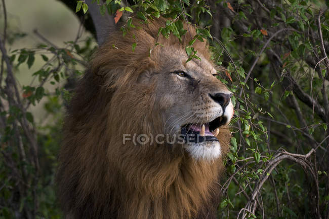 Un Lion rugissant à Masai Mara National Reserve, Kenya — Photo de stock