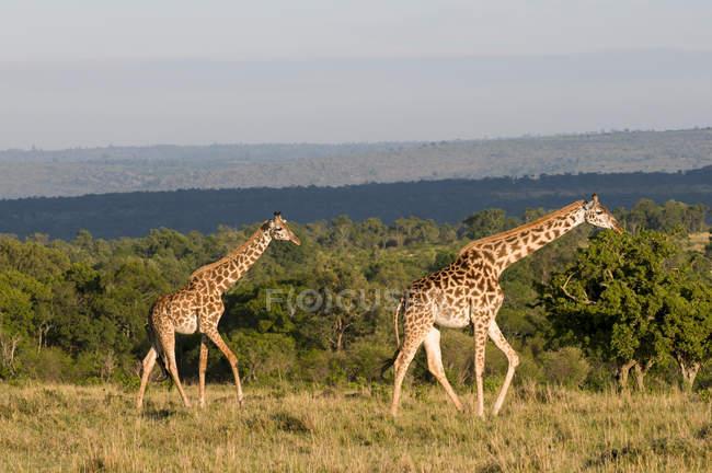 Масаи Жирафы в Масаи Мара Национальный заповедник, Кения — стоковое фото