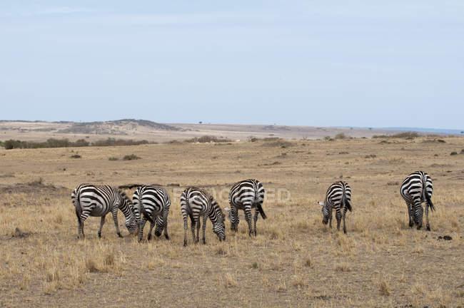 Зебра пасуться в Масаї Мара, Кенія — стокове фото