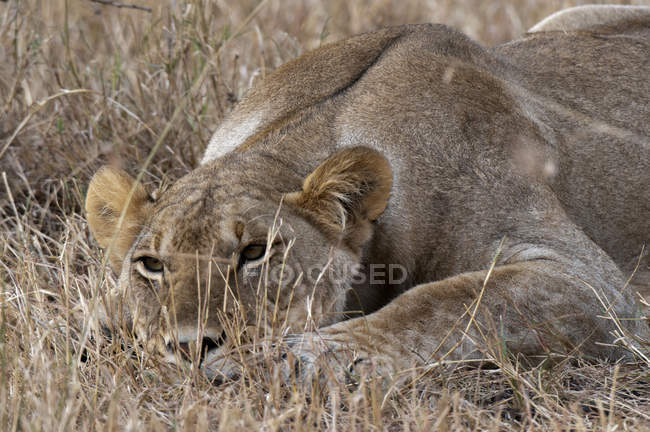 Lioness lying on dry grass in Masai Mara, Kenya — Stock Photo