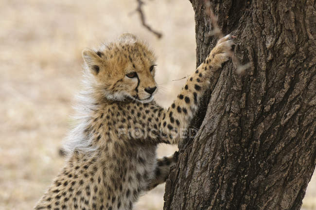Mignon cub Cheetah affûtage clous à arbre, réserve nationale de Masai Mara, Kenya — Photo de stock