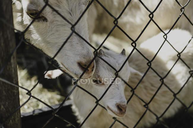 Мать коза и ребенок у проволочного забора — стоковое фото
