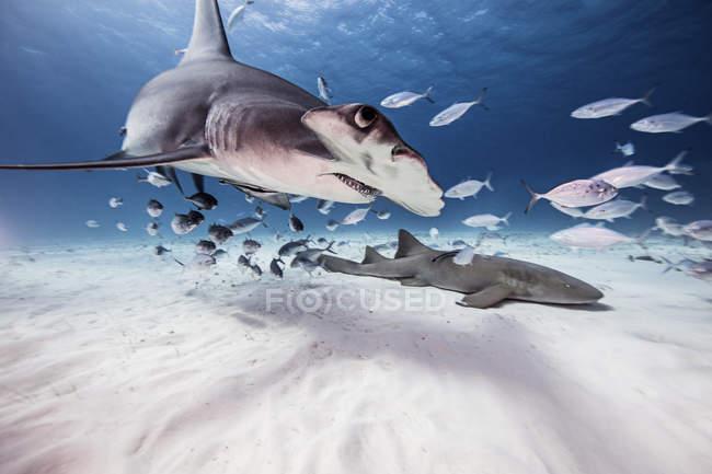 Vue sous-marine grand requin, requin nourrice et poisson-appât, Bahamas — Photo de stock