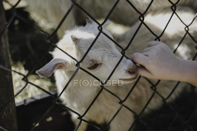 Козел сосет девочкам большой палец с проволочного забора — стоковое фото