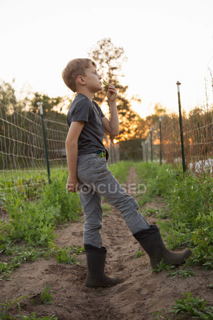 Young boy on farm, eating freshly picked sugar snap peas — Stock Photo