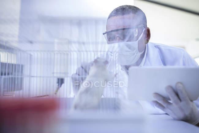 Ouvrier de laboratoire regardant dans une cage contenant du rat blanc — Photo de stock