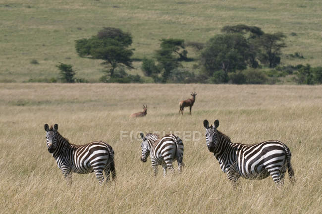 Common Zebra (Equus quagga), Masai Mara National Reserve, Kenya. — Stock Photo