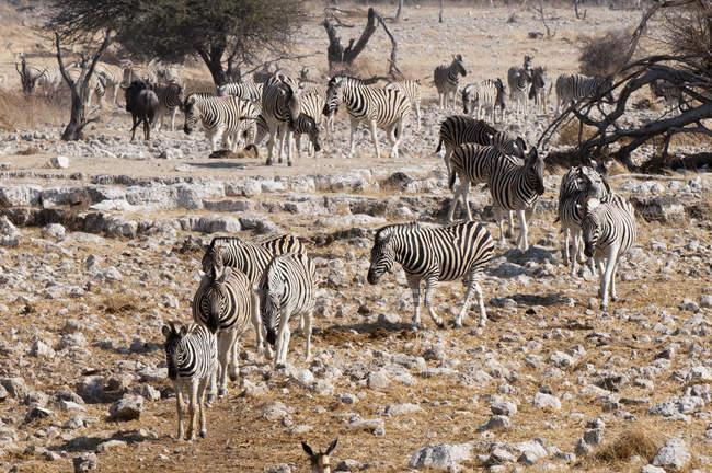Cebras cebra caminando sobre piedras en el Parque Nacional de Etosha, Namibia - foto de stock