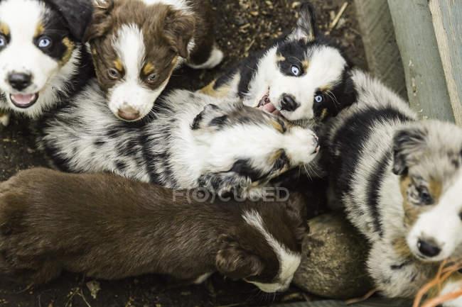 Visão aérea de filhotes de cão pastor de olhos azuis em caneta — Fotografia de Stock