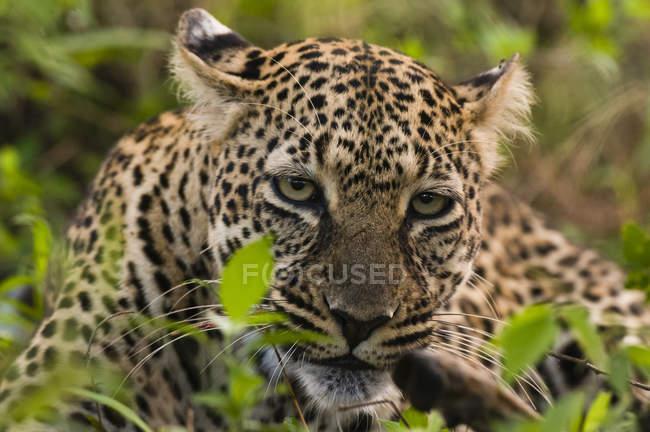 Леопард с убитых Импала, Масаи Мара Национальный заповедник, Кения — стоковое фото