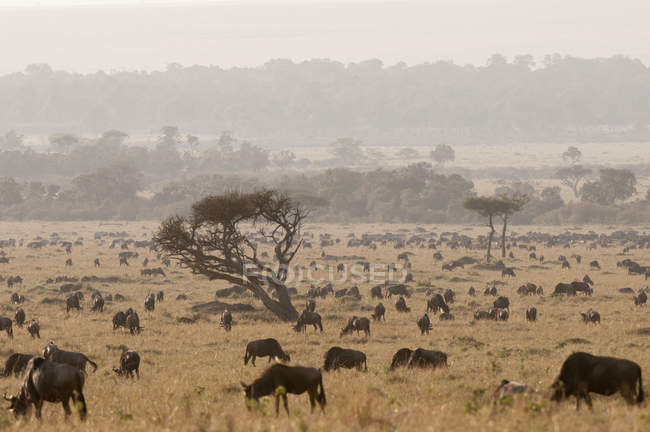 Herd of wildebeests grazing on field in masai mara national reserve, Kenya — Stock Photo