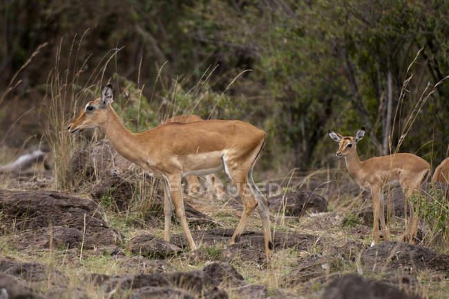 Impalas walking in masai mara national reserve, Kenya — Foto stock