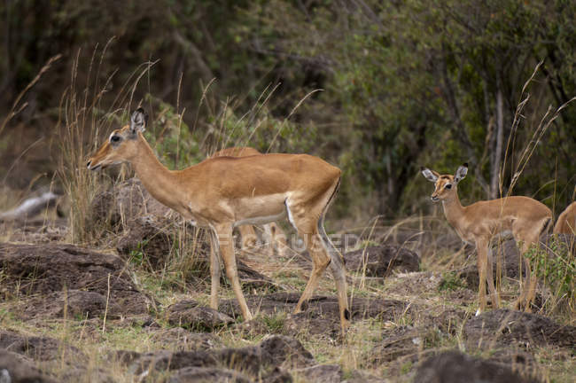 Impalas walking in masai mara national reserve, Kenya — Stock Photo