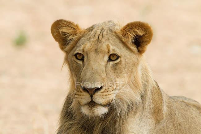 Porträt einer schönen Löwin Wegsehen in Afrika — Stockfoto