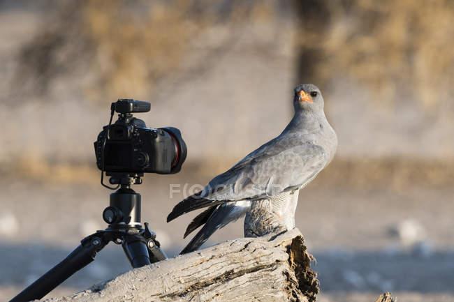 Pâle chant-autour des palombes regardant la caméra à distance, Kalahari, Botswana, Afrique — Photo de stock