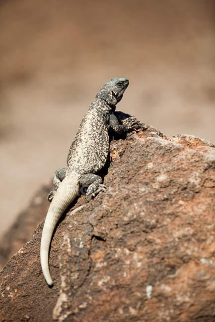 Ігуана пустельна, Долина смерті, штат Невада, США — стокове фото