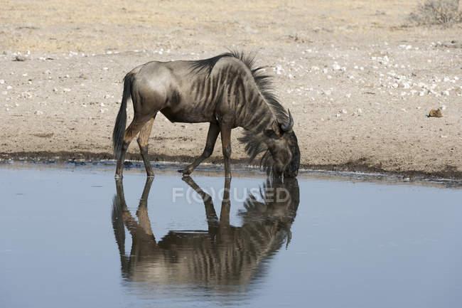 Wildebeest blu bere wayer dal waterhole, Kalahari, Botswana — Foto stock