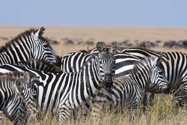 Гранти зебр дивлячись на камеру, Масаі Мара Національний заповідник, Кенія — стокове фото