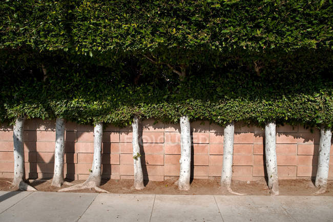Row of green trees by wall in city — Stock Photo