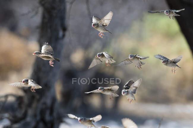 Troupeau de travailleur à bec rouge (quelea Quelea), de vol, Kalahari, Botswana Afrique — Photo de stock