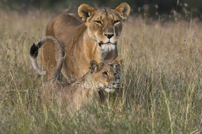 Lioness and two small cubs standing in grass in Masai Mara, Kenya — Stock Photo