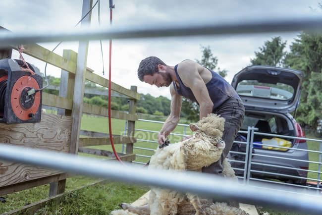 Homem agricultor tosquia ovelhas no campo — Fotografia de Stock