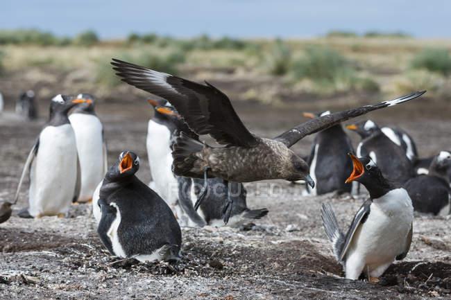 Südskua attackiert Gentoo-Pinguin-Kolonie, Port Stanley, Falklandinseln, Südamerika — Stockfoto