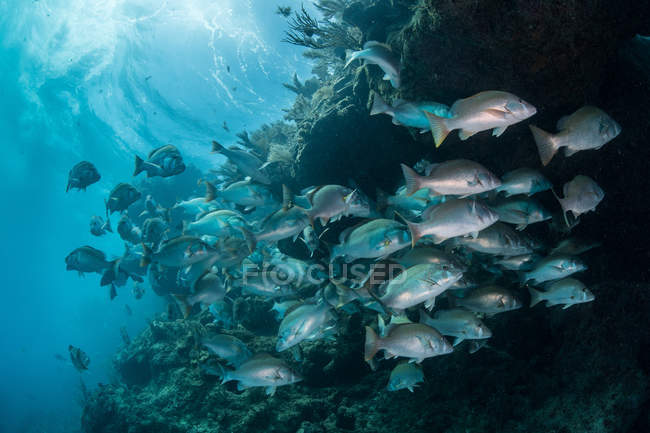 Tir subaquatique de rassemblement shoal vivaneau à mate, Quintana Roo, Mexique — Photo de stock