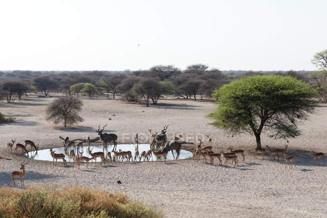 Тварин питною водою з waterhole в Калахарі, Ботсвани — стокове фото