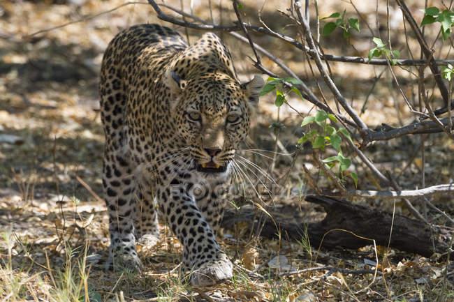 Леопард прогулки на земле возле Буш и глядя на камеру — стоковое фото