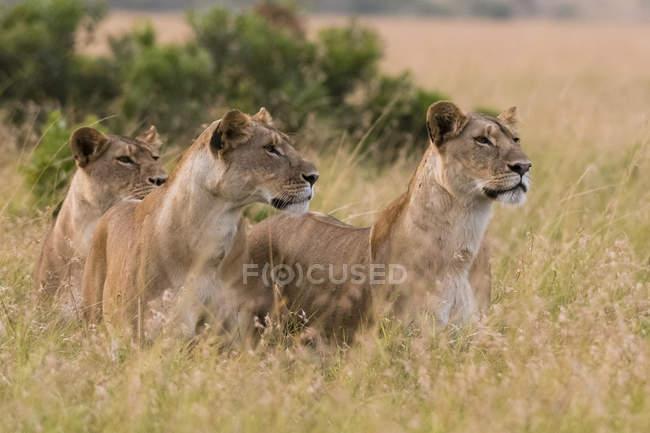 Трьома молодими левиці фотографіях хтось дивитися вбік в траві в Масаї Мара, Кенія — стокове фото