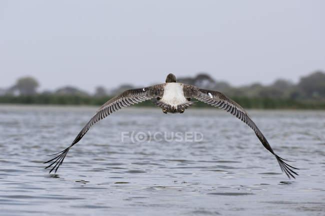 Pélican blanc, Pelecanus onocrotalus, Tsavo, Kenya. — Photo de stock