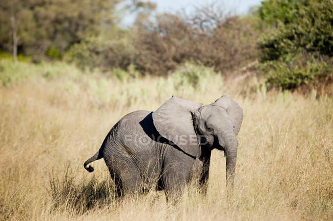 Baby elephant in Okavango Delta, Botswana, Africa — Stock Photo
