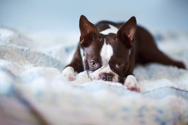 Portrait of boston terrier lying on bed — Stock Photo