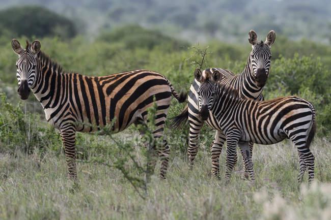 Рівнини зебр, кінь, quagga, Тсаво, Кенія. — стокове фото