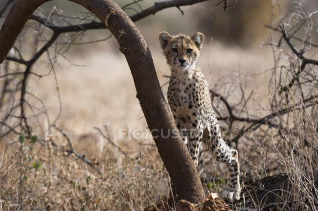 Portrait of cheetah cub leaning on tree in Samburu National Reserve, Kenya — Stock Photo