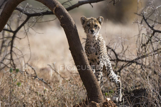 Portrait of cheetah cub leaning on tree in Samburu National Reserve, Kenya — Stock Photo