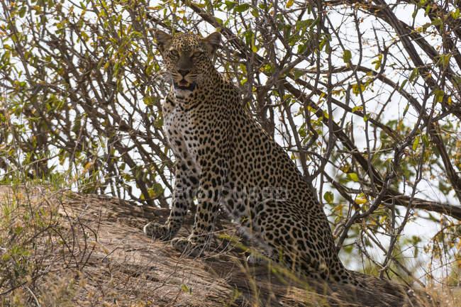 Леопард, сидя на холме и, глядя на камеру, Национальный заповедник Самбуру, Кения — стоковое фото