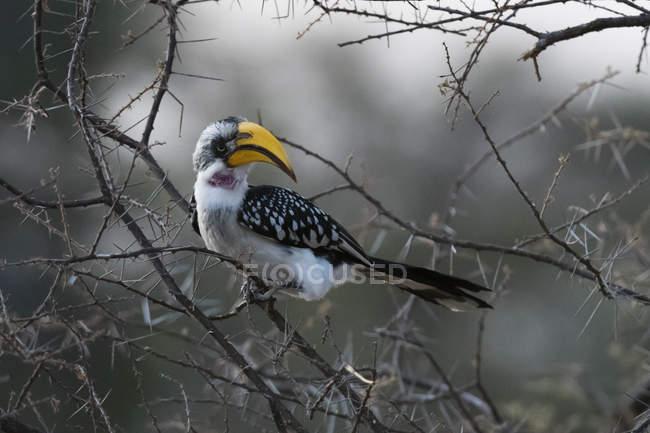 Vista de pájaro Cálao de pico amarillo oriental sentado en el árbol en la reserva nacional Samburu, Kenia - foto de stock