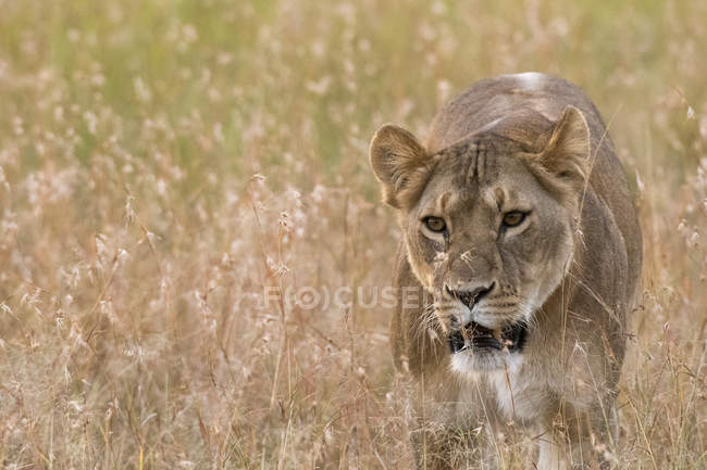 Lioness walking in grass in savannah, Masai Mara, Kenya — Stock Photo